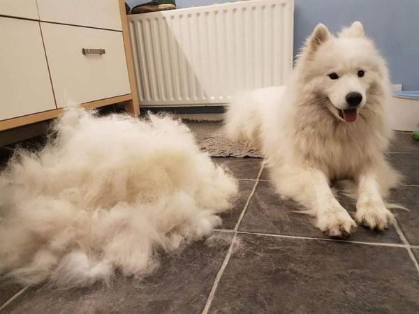 chó bị rụng lông